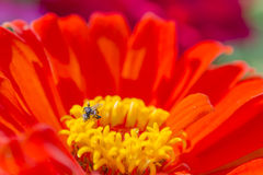 Flor roja y pequeña abeja Fotos de archivo