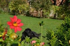 Flor roja y perro negro Fotos de archivo