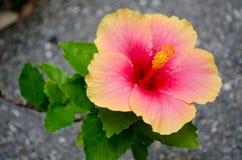 Flor roja y rosada Fotografía de archivo libre de regalías