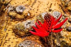 Flor roja y tronco del árbol coralino Fotografía de archivo libre de regalías
