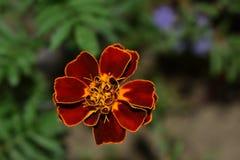 flor Rojo-amarilla Imagen de archivo