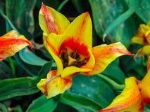 Flor rojo-amarilla hermosa en el día soleado - detalle en la flor imagenes de archivo