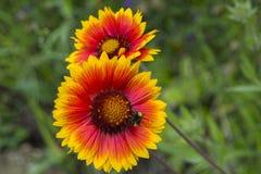 Flor rojo-anaranjada hermosa del jardín con una abeja en los estambres Foto de archivo libre de regalías