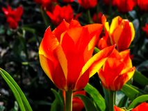 Flor rojo-anaranjada hermosa en el día soleado - detalle en la flor imágenes de archivo libres de regalías