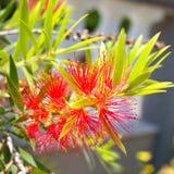 Flor rojo de la flor, Banksia Imagen de archivo libre de regalías