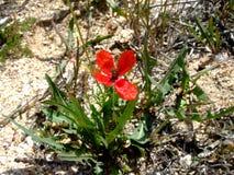 Flor rojo de la flor de la amapola en tierra Imagen de archivo