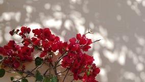 Flor rojo de la planta del geranio, flora africana almacen de metraje de vídeo