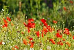 Flor rojo de las amapolas en el campo Foto de archivo libre de regalías