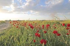 Flor rojo de las amapolas de las flores en campo Imagenes de archivo