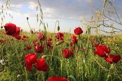 Flor rojo de las amapolas de las flores en campo Imagen de archivo libre de regalías
