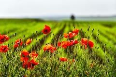 Flor rojo de las flores de las amapolas en campo salvaje Drogas naturales Imagen de archivo