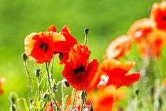 Flor rojo de las flores de las amapolas en campo salvaje Drogas naturales Fotografía de archivo