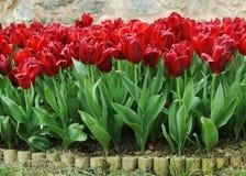 Flor rojo de los tulipanes Imagen de archivo