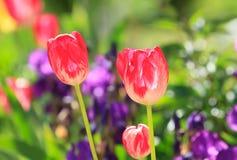 Flor rojo de los tulipanes Imágenes de archivo libres de regalías