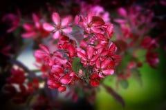 Flor rojo del manzano Imágenes de archivo libres de regalías