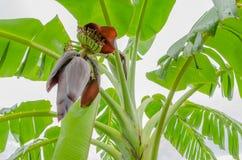 Flor rojo del plátano Foto de archivo libre de regalías