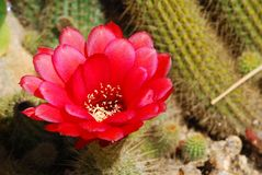 Flor rojo detallado del cactus Fotografía de archivo