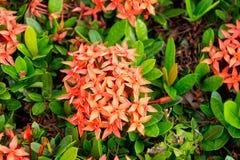 Flor rojo en el parque histórico en sukhothai Imagen de archivo libre de regalías