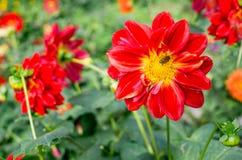 Flor rojo hermoso de la flor con la abeja en Chiang Mai, Tailandia septentrional Naturaleza, botánica, concepto del viaje Imagen de archivo