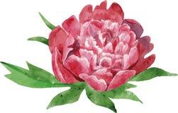 Flor rojo oscuro magnífica de la peonía con las hojas illustra de la acuarela Ilustración del Vector