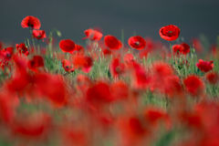 Flor rojo salvaje de las amapolas de las flores en campo Amapolas rojas del campo hermoso con el foco selectivo Amapolas rojas en Imagen de archivo