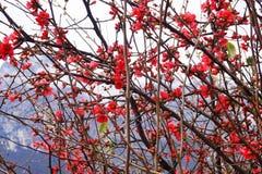 Flor rojo salvaje hermoso Foto de archivo