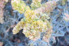 Flor rosáceo amarillento verdoso de la planta Fotos de archivo libres de regalías