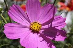 Flor Rosa Imagenes de archivo