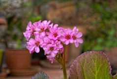 Flor rosa Blomma Royaltyfri Foto