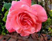 Flor rosa clara imagen de archivo libre de regalías
