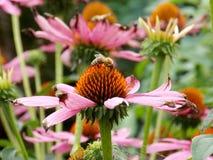 Flor rosa clara con la abeja Imagen de archivo libre de regalías