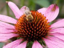 Flor rosa clara con la abeja Fotografía de archivo libre de regalías