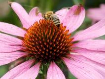 Flor rosa clara con la abeja Imágenes de archivo libres de regalías