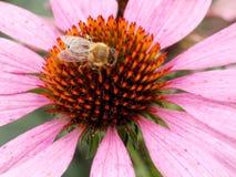 Flor rosa clara con la abeja Foto de archivo libre de regalías
