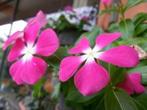 Flor rosa clara de Beautful del color de la naturaleza de Sri Lanka Foto de archivo