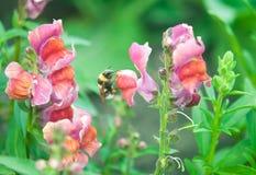 Flor rosa clara del antirrino de la polinización de la abeja Foto de archivo