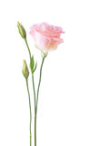 Flor rosa clara del Eustoma aislada en el fondo blanco Fotografía de archivo libre de regalías