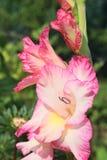flor rosa clara del gladiolo que crece en el jardín fotografía de archivo