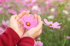 Flor rosa clara hermosa del cosmos a mano Foto de archivo