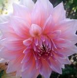 Flor rosa clara hermosa en mi jardín fotografía de archivo