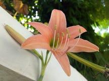 Flor rosa clara impresionante foto de archivo