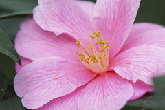 Flor rosa claro de la camelia Imagen de archivo