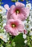 Flor rosada Fotografía de archivo libre de regalías