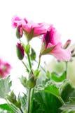 Flor rosada Fotos de archivo libres de regalías