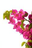 Flor rosada Imagenes de archivo
