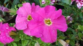 Flor rosada Imagen de archivo libre de regalías