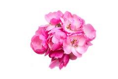 Flor rosada aislada Imágenes de archivo libres de regalías