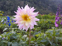 Flor rosada, Ang Khang Thailand Imagenes de archivo