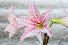 Flor rosada blanca de la amarilis Imagen de archivo libre de regalías