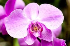 Flor rosada brillante de la orquídea en el jardín Imagenes de archivo